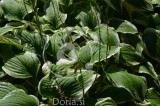 Hosta fortunei 'Patriot' (digitalna fotografija)