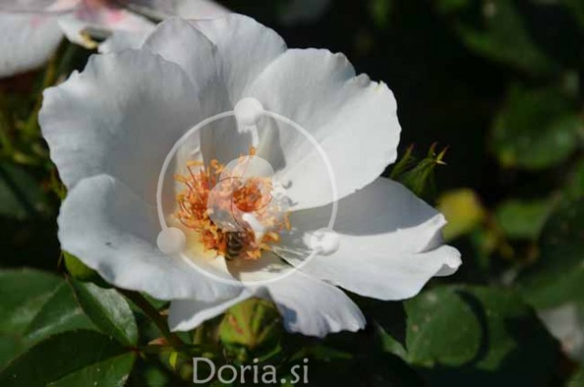 Vrtnica floribunda 'Giscard D'Estaing Rose' in čebela (digitalna fotografija)